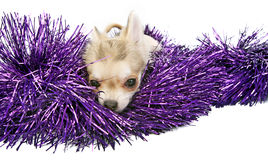 Chihuahua puppy with shiny tinsel Royalty Free Stock Images