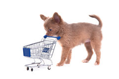 Chihuahua Puppy with shopping cart. Cute Chihuahua puppy pushing a supermarket cart Royalty Free Stock Photography