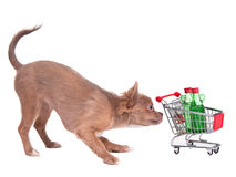 Chihuahua puppy with shopping cart. Buying two bottles of alcohol, on white background Stock Photography