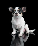 Chihuahua puppy sits on black background Stock Image