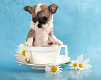 Chihuahua puppy sits in a cup Royalty Free Stock Photos