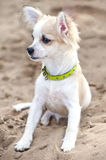 Chihuahua puppy sitting on  beach sand Stock Photo