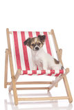 Chihuahua puppy  sitting in a deckchair Royalty Free Stock Photo