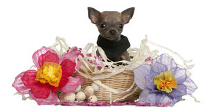 Chihuahua puppy sitting in Easter basket Stock Image
