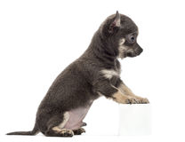 Chihuahua puppy sitting and leaning Stock Images