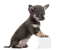 Chihuahua puppy sitting and leaning Stock Photography