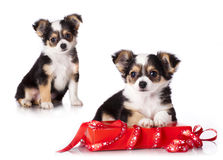 Chihuahua puppy Royalty Free Stock Photography