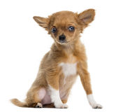 Chihuahua puppy sitting, looking at the camera, 4 months Stock Image