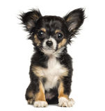 Chihuahua puppy sitting, looking at the camera, 3 months old Royalty Free Stock Photography