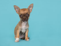 Chihuahua puppy sitting looking cute on a blue background Royalty Free Stock Images