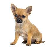 Chihuahua puppy sitting, 4 months old, isolated Stock Photo