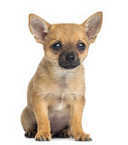 Chihuahua puppy sitting, 4 months old, isolated Royalty Free Stock Photo