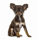 Chihuahua puppy sitting, 4 months old, isolated Royalty Free Stock Photography