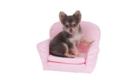 Chihuahua puppy sitting in pink armchair. Curious Chihuahua dog sitting in a pink armchair looking at camera isolated on white background Stock Image