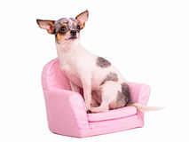 Chihuahua puppy sitting in a pink armchair. Isolated on white background Royalty Free Stock Photos