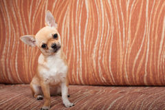 Chihuahua puppy sitting on sofa, 4 months old female