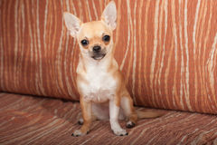 Chihuahua puppy sitting on sofa, 4 months old female Stock Photo