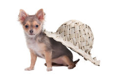 Chihuahua puppy sitting under a palm hat Royalty Free Stock Photo