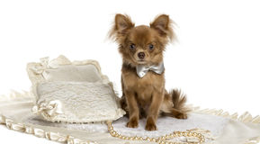 Chihuahua puppy sitting, wearing a bow tie, 6 months old Royalty Free Stock Image