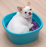 Chihuahua puppy sleep in the bucket. On wood floor Stock Photography