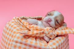 Chihuahua puppy sleeping in bag Royalty Free Stock Images