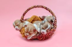 Chihuahua puppy sleeping together in the basket. Newborn chihuahua puppy sleeping together in the basket Royalty Free Stock Image
