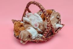 Chihuahua puppy sleeping together in the basket. Newborn chihuahua puppy sleeping together in the basket Stock Image