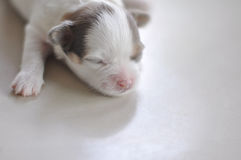 Chihuahua puppy. Sleepy on the floor Royalty Free Stock Photo