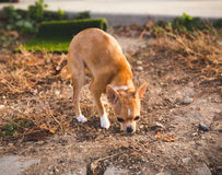 Chihuahua puppy sniffing in a home yard setting Royalty Free Stock Photography
