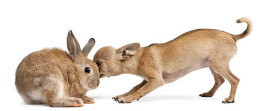 Chihuahua puppy sniffing rabbit Stock Photo