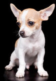 Chihuahua puppy standing on a black background Royalty Free Stock Photos