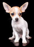 Chihuahua puppy standing on a black background Stock Images