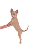 Chihuahua puppy standing on hind legs Royalty Free Stock Photo