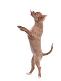 Chihuahua puppy standing on hind legs Royalty Free Stock Image