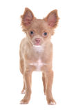 Chihuahua puppy standing, looking at camera Stock Photography