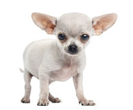 Chihuahua puppy standing, looking at the camera, 4 months old Stock Photography