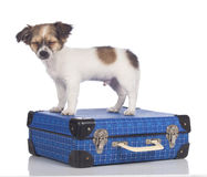 Chihuahua puppy standing on a suitcase Stock Images