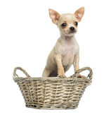 Chihuahua puppy standing in a wicker basket Stock Photos