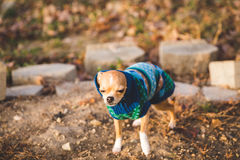 Chihuahua puppy stands outside in the cold wearing knit sweater Royalty Free Stock Image