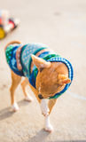 Chihuahua puppy stands outside near a child`s toy Royalty Free Stock Photography