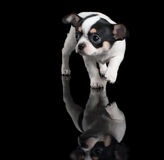 Chihuahua puppy steps forward on black background Stock Photos