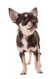 Chihuahua puppy Stock Images