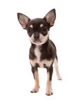Chihuahua puppy Stock Photos