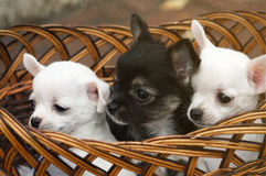 Chihuahua puppy. Three nice little Chihuahua puppy in a wicker basket Royalty Free Stock Photo