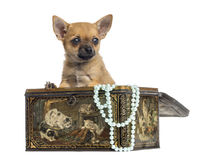 Chihuahua puppy in a vintage box, 4 months old, isolated Royalty Free Stock Image