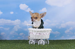 Chihuahua puppy for a walk in the park Royalty Free Stock Photo