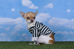 Chihuahua puppy for a walk in the park Stock Photos