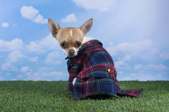 Chihuahua puppy for a walk in the park Royalty Free Stock Photography