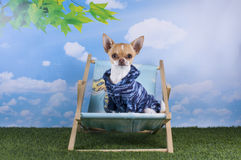 Chihuahua puppy for a walk in the park Royalty Free Stock Images
