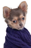 Chihuahua puppy with warm sweater isolated Royalty Free Stock Photo